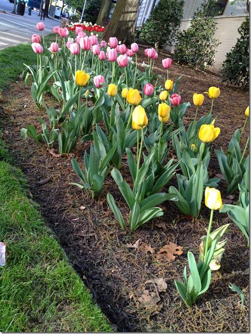 DC spring tulips
